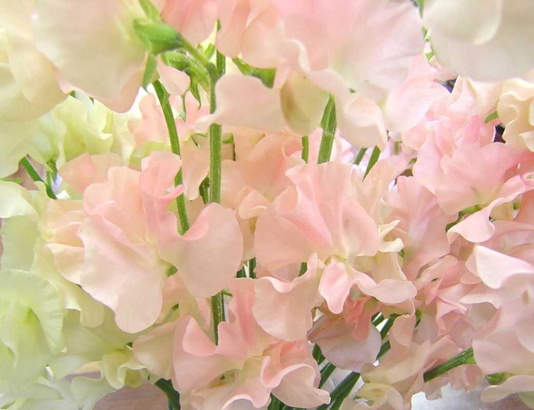rozovye-cvety13 Свадебные букеты с душистым горошком